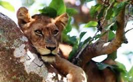 tree lion