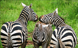 Budget Wildlife Uganda tours