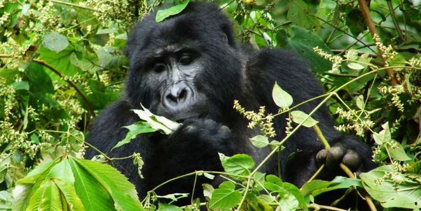Gorilla trekking safari Uganda in Bwindi Forest National Park