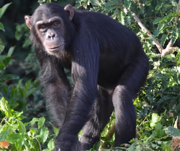 Chimpanzee trekking tour in Kibale Forest National Park Uganda