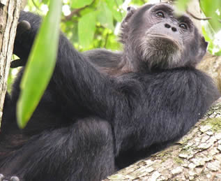 Chimpanzee Tracking Tours in Nyungwe