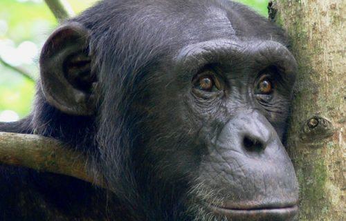Chimpanzee Treks Uganda