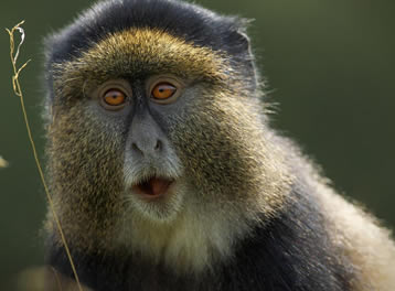 Golden Monkey Trek Rwanda