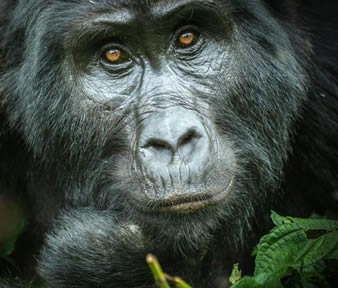 Gorilla Trekking Safaris Rwanda