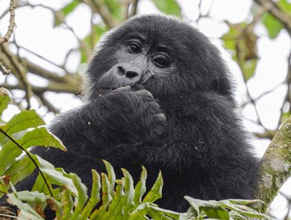 Gorilla trekking safari Uganda in Bwindi Forest National Park
