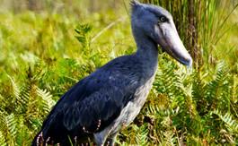Birding Tour Adventures Uganda