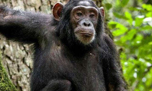 Chimpanzee Tracking in Nyungwe Forest