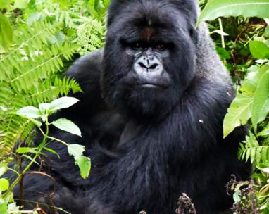 Gorilla Trekking Tours Rwanda