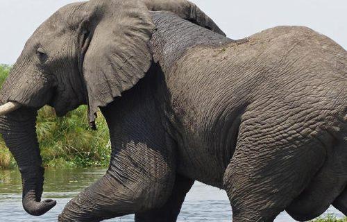 Elephants at Murchison National Park Uganda