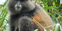 Golden Monkeys Uganda