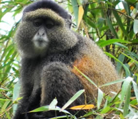 Golden Monkey Tracking Uganda