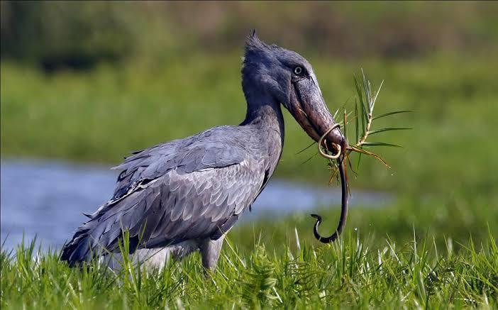 birding tours safaris Uganda